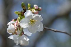 izuyoshino_17403b (takao-bw) Tags: イズヨシノ 伊豆吉野 桜 cherryblossoms sakura バラ科 rosaceae woodyplant 木本 plant 植物 japan