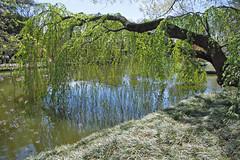 Weeping Cherry Tree after blooming (witajny) Tags: 2017 spring tree cherry weepingcherry pond water garden brooklynbotanicgarden newyork green grass seasons