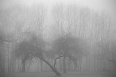 dualism (Mindaugas Buivydas) Tags: lietuva lithuania bw spring march appletree tree trees fog mist mood moody evening garden pavilniųregioninisparkas pavilniairegionalpark pučkoriai mindaugasbuivydas