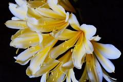 Como un abanico (ameliapardo) Tags: flores plantas jardines jardinería amarillo pistilos naturaleza airelibre andaucía sevilla españa macro fujixt1 leyca