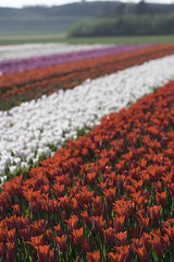 _CWH1276 (Colorblenders) Tags: holland tulipfields