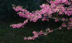 Cherry blossom in Alishan, Taiwan (phuong.sg@gmail.com) Tags: alishan april background bloom blooming blossom blossoming branch bud cherry closeup delicate detail fade flora floral flower freshness garden gardening gentle horizontal japan japanese korea macro natural nature orchard oriental petal pink sakura season spring taiwan tender tenderness title tree white wide young zen