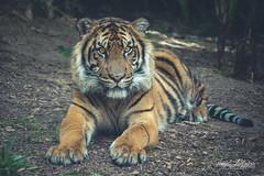 Suka (ToddLahman) Tags: suka sumatrantiger teddy joanne tigers tiger tigertrail exhibitb sandiegozoosafaripark safaripark canon7dmkii canon canon100400 beautiful mammal outdoors closeup portrait