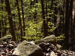 sul bordo della faggeta (fotomie2009) Tags: melogno faggeta faggi spring primavera faggio liguria italy italia beech trees alberi forest bosco