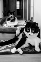 HANA & KINA 20170425 (HarQ Photography) Tags: monochrome blackandwhite fujifilm fujifilmxseries xt1 xf23mmf2rwr daily cat pet animal