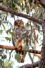 17 - 52 Powerful-Owl (Roz B) Tags: owl nature australia caboolture powerful bird