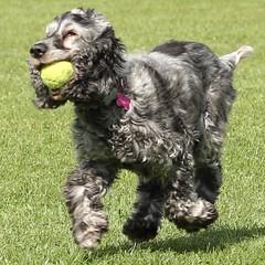 Fetch! (Carn13) Tags: park field fetch ball play dog cocker spaniel