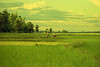 (np486) Tags: laos vientiane countryside landscape ricefields farmer water buffalo plow plough peagam