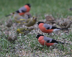 Bullfinches, Greenfinches and Siskins (Ingeborg van Leeuwen) Tags: birds sweden bullfinch pyrrhulapyrrhula carduelischloris siskin carduelisspinus carduelis chloris spinus pyrrhula passerines svartdalen