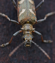 Beetle (Red_Bloduewedd) Tags: macro nature closeup canon bug insect wildlife beetle shell sigma canoneos naturalworld invertebrate macrolens macrophotography carapace scottishwildlife