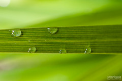 Puret  Purity (Simon Lajoie) Tags: macro green water eau drop vert leafs goutte feuille