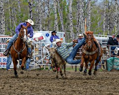 Grab the bull by the horns (labels_30) Tags: horses cowboys caroline alberta rodeo stampede steerwrestling bulldogging carolinealberta bighornstampede