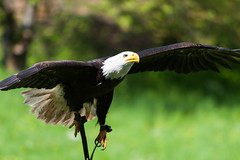 Bald Eagle ready to land.... (Samuraiji) Tags: park sea wild germany deutschland coburg eagle bald zee schloss duitsland wildpark arend haliaeetus leucocephalus adelaar amerikaanse tambach seeadler weiskopf weiskopfseeadler