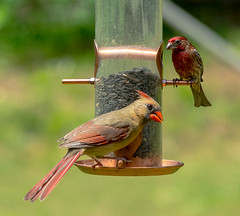 Female Cardinal with a Male House Finch (screaminscott) Tags: birds housefinch femalecardinal