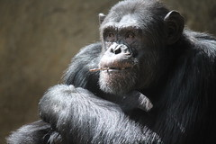 Gorilla (beckyspeller) Tags: barcelona light shadow wild black animal canon pose fur eos zoo monkey dangerous spain eyes gorilla serious sit thinking stunning amusing primate 600d concerntrating