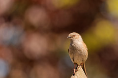 Hedge Sparrow (MNA24) Tags: bird nikon bokeh dunnock sparrow hedge d7100 55300mm