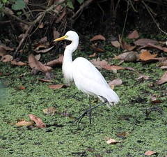 Uccello Kumarakom Bird Sanctuary