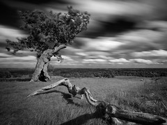 That Tree Again (placid casual) Tags: park trees bw white black tree clouds silver oak long exposure wind leicestershire 10 leicester stop filter pro favourite bradgate efex nd110