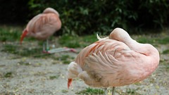 Through your Ankles (ToonS VisioN) Tags: camera netherlands animals flamingo nederland vogels natuur dieren epe dierentuin gelderland locatie lenzen onderwerp canonef70200mmf4lusm uitrusting canoneos60d dewisselzoo