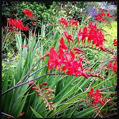 "Crocosmia lucifer in the hell strip! • <a style=""font-size:0.8em;"" href=""https://www.flickr.com/photos/61640076@N04/9150173169/"" target=""_blank"">View on Flickr</a>"