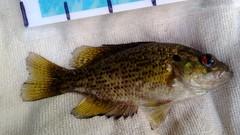 WP_20130701_006 (Cases4Cases) Tags: fish washington fishing bass lakewashington mercerisland lakefishing rockbass catchandrelease catchrelease