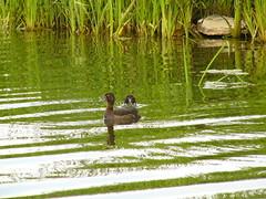 Duckling diving (stuartcroy) Tags: water island duck orkney duckling loch dmcfz10 harray