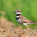 Killdeer_65K8290_4x6_CRC