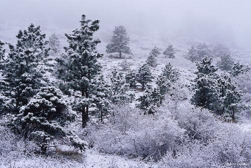 Photo - Snow and rime ice coat ponderosas at Chautauqua.