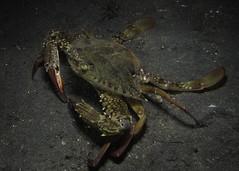 Blue swimming crab swimming (MerMate) Tags: canon indonesia underwater diving powershot crabs northsulawesi manado lembeh nad crustaceans g12 nightdive nightsafari wpdc34