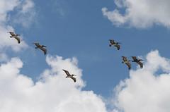 Pelikane (svendoehler) Tags: florida pelican pelikan