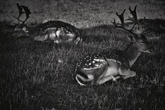 Nature does not hurry, yet everything is accomplished. (Melinda Szente) Tags: two blackandwhite bw nature beautiful beauty grass forest canon photography 50mm photo flickr afternoon photographer natural image relaxing peaceful deer spots resting atrest atpeace beautifulnature feketefehr tumblr canoneos450d untuched naturedoesnothurryyeteverythingisaccomplished melindaszente