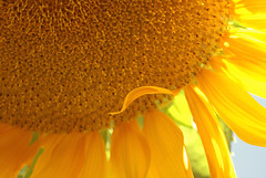 Life, Love, & Leaves (obsequies) Tags: flowers autumn sun canada fall colors sunshine giant happy petals colours bright harvest manitoba sunflowers tall yellows dying wilting