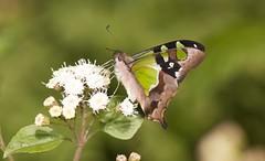 Macleay's Swallowtail (Graphium macleayanus) (Gus McNab) Tags: swallowtail macleays graphium macleayanus
