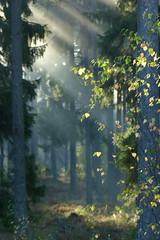 (evisdotter) Tags: morning trees light nature leaves fog forest sunrise foggy sunny sunrays dimma åland sooc