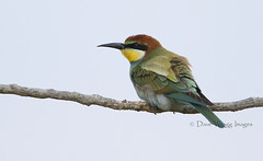 European Bee-eater (Dave @ Catchlight Images) Tags: travel autumn bird nature birds canon island european wildlife aegean greece migration 500mm beeeater lemnos avianexcellence canonef500mmf4is