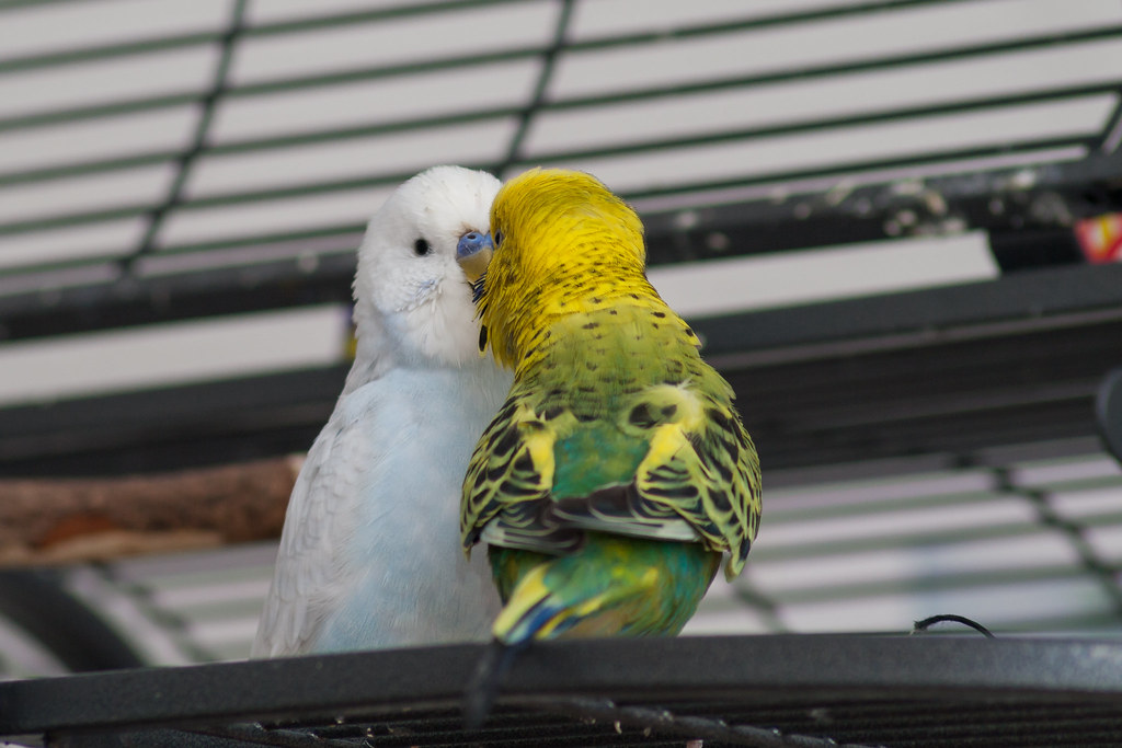 The World's Best Photos of budgies and pets - Flickr Hive Mind