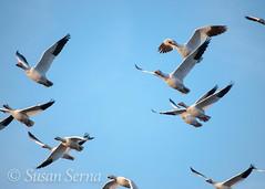 Snow Geese Migration (SusanRSerna) Tags: blue sky bird nature alaska geese spring nikon wildlife goose telephoto anchorage migration naturalworld wildliferefuge snowgeese d60 snowgoose pottermarsh acwr dailynaturetnc13 mnnphotos