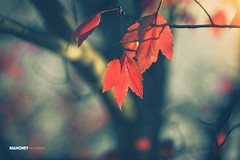 Autumn Tones (Mahoney Photography WA) Tags: autumn red fall nature leaves canon prime bokeh tones 135mm hbw happybokehwednesday
