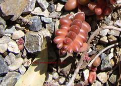 Sedum stahlii (Kelley Macdonald) Tags: succulent crassulaceae sedum mexicansedum sedumstahlii theruthbancroftgarden