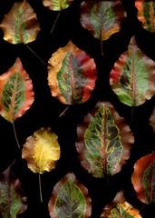55629.01 Pyrus calleryana (horticultural art) Tags: fallleaves leaves pear pyrus pyruscalleryana callerypear horticulturalart
