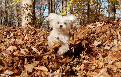Rugby (samd517) Tags: fall leaves living jumping rugby free leash maltese