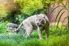 IMG_7977 (Marvyn Hendrata) Tags: bali white holiday elephant nature canon indonesia fun paradise time god wildlife tiger safari land 6d