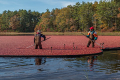 L1003211 (sswee38823) Tags: farm cranberry cranberries cranberrybog harvest carver carverma ma massachusetts newengland noctiluxm50mmf095asph leica leicam leicamtype240 slocumgibbscranberryco pdp noctiluxm109550mmasph seansweeneyphotographer seansweeney leica50mmf95