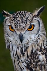 Strigiformes (Tony Shertila) Tags: england bird look animal eyes europe britain beak feather aves owl gaze merseyside strigiformes portsunlight wirrl mygearandme