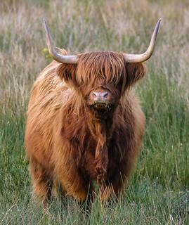 Loch Ewe, Highland cow