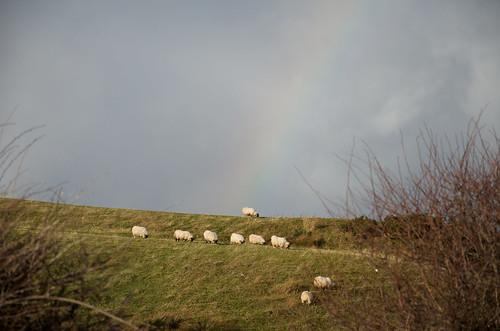 Rainbow sheep ©  Still ePsiLoN