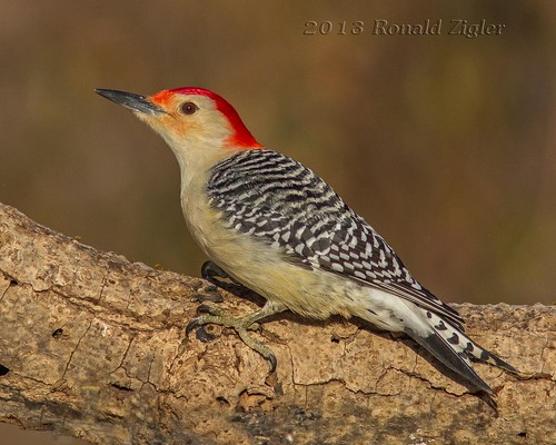 Red-bellied Woodpecker ( Melanerpes carolinus) IMG_8978