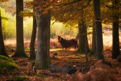 The Encounter #1 - Spotted (Explore #5) (tommyscapes) Tags: autumn trees red horse brown color colour fall nature look leaves animal forest photoshop gold eyes wildlife pony chestnut contact creature newforest encounter tommyclark canonef70200mmf28lis nikcolorefexpro canon7d tommyscapes