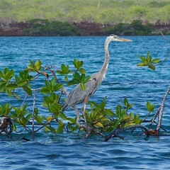 """_DSC5832  """"Great Blue Heron""""  """"Garza Morena"""" (ChanHawkins) Tags: blue galapagos april pm bay"""" 11"""" """"great heron"""" """"garza morena"""" """"thurs """"isabellaelizabeth"""