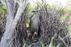 great bowerbird 2 (Jim Bendon) Tags: australianbirds northqueensland greatbowerbird mountmolloy bendon 800mmf56